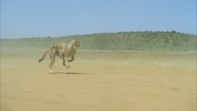 ms pov  cheetah running fast across desert / unspecified - velocità video stock e b–roll