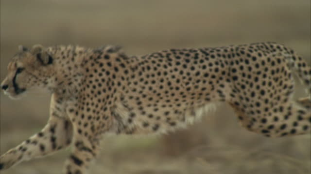 cu pov slo mo cheetah running fast across field / unspecified - cheetah stock videos and b-roll footage