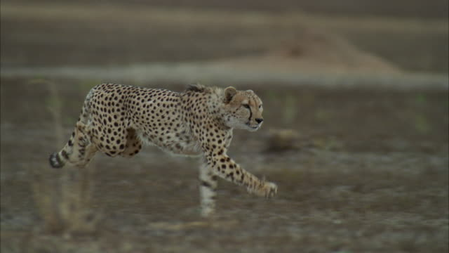 ms ts slo mo cheetah running fast through field of tall grass / unspecified  - cheetah stock videos and b-roll footage