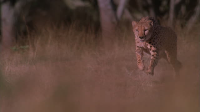 Cheetah running through long grass, South Africa Available in HD.