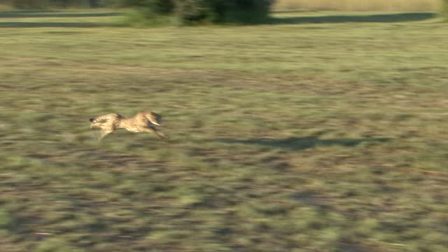 cheetah running - cheetah stock videos and b-roll footage