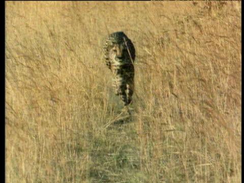 cheetah runs directly towards camera on savanna. - cheetah stock videos and b-roll footage