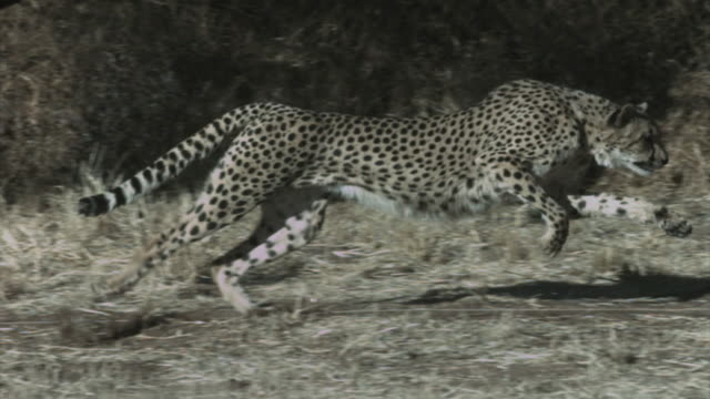a cheetah runs on a trail past shrubs. available in hd. - cheetah stock videos and b-roll footage