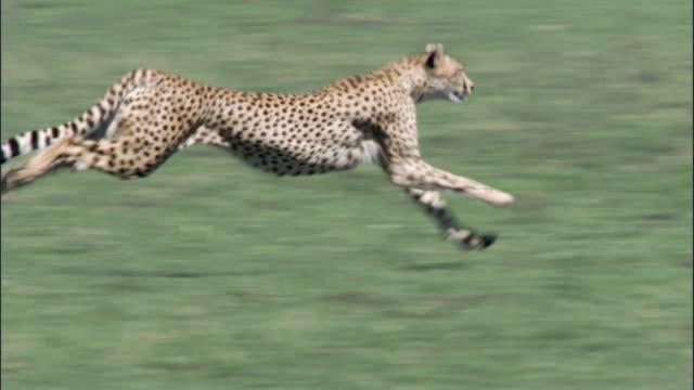 Cheetah (Acinonyx jubatus) runs on savannah, Masai Mara, Kenya