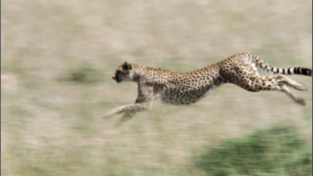cheetah (acinonyx jubatus) runs then stops on savannah, masai mara, kenya - cheetah stock videos and b-roll footage
