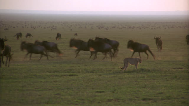 a cheetah runs toward a herd of wildebeest. - group of animals stock videos & royalty-free footage