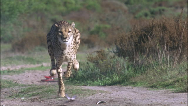 a cheetah runs - cheetah stock videos & royalty-free footage