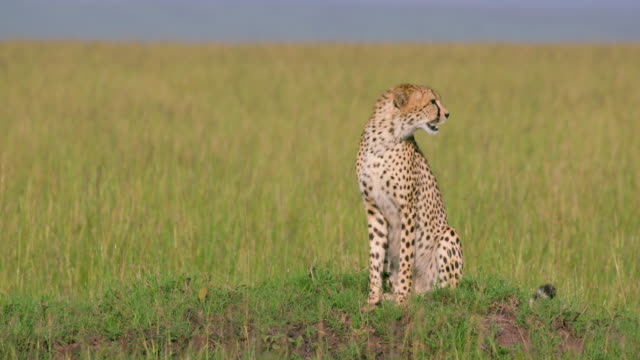 cheetah sat on mound in long grass, maasai mara, kenya, africa - audio available stock videos & royalty-free footage