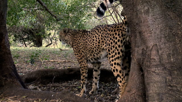 cheetah scenting territory - scented stock videos & royalty-free footage