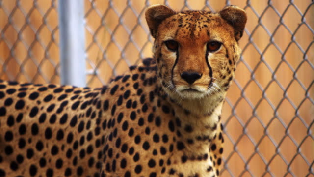cheetah sits next to chain-link fence - captive animals stock videos & royalty-free footage