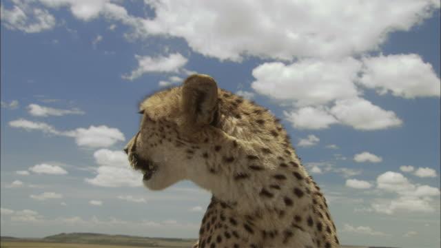 CU, LA, ZI, Cheetah (Acinonyx jubatus) sitting on savannah, Africa
