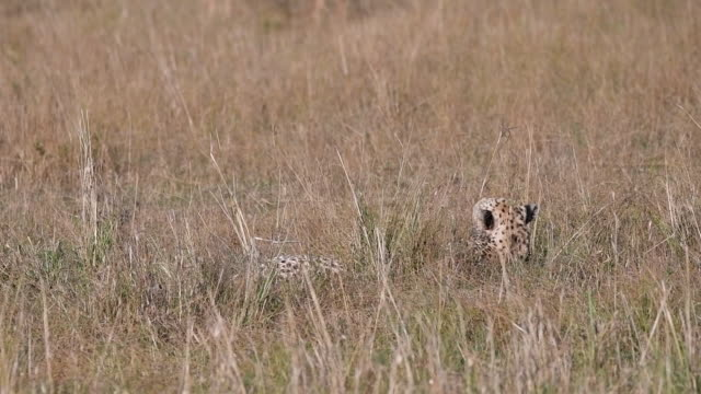 A cheetah sleeping in a grass in the plains of mara and overlooked by herd of topis