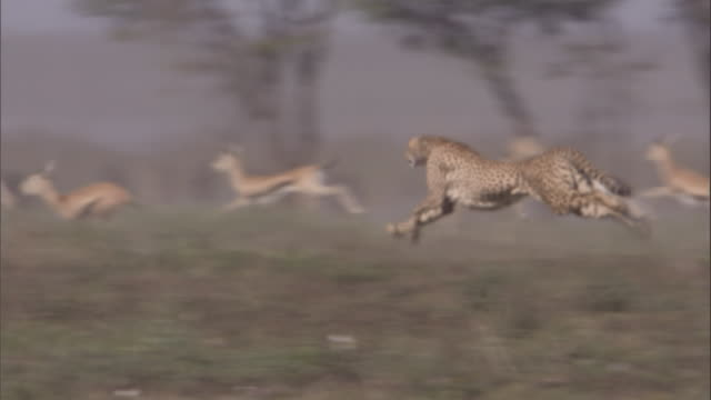 Cheetah sprints across savannah and catches Thomson's gazelle fawn. Available in HD.
