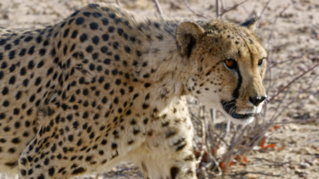 cu cheetah stalking,namibia,africa - namibia stock videos & royalty-free footage