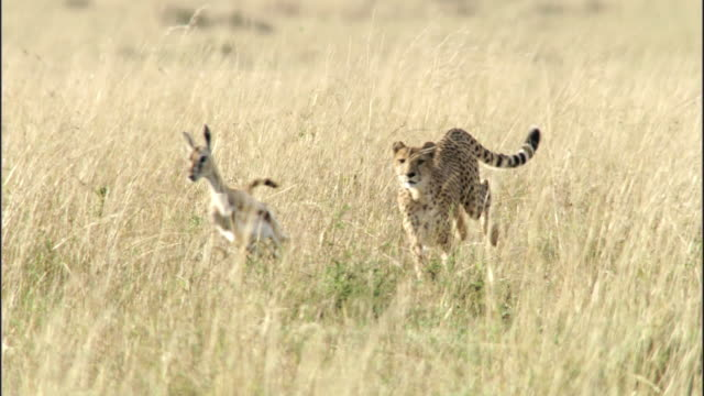 cheetah (acinonyx jubatus) stalks, chases and catches thomson's gazelle (eudorcus thomsonii) prey, masai mara, kenya - cheetah stock videos and b-roll footage