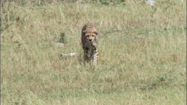cheetah (acinonyx jubatus) stalks prey on savannah, masai mara, kenya - cheetah stock videos and b-roll footage