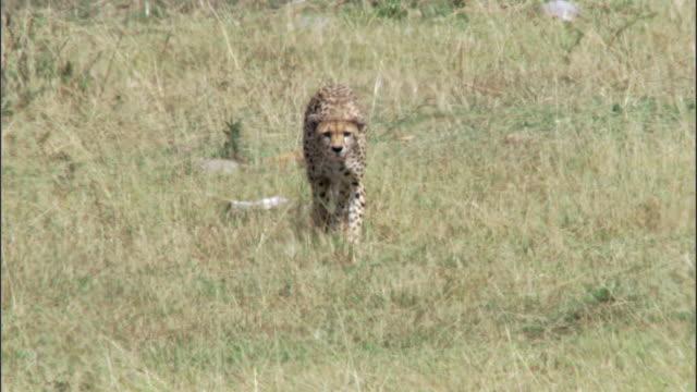 cheetah (acinonyx jubatus) stalks prey on savannah, masai mara, kenya - vorderansicht stock-videos und b-roll-filmmaterial