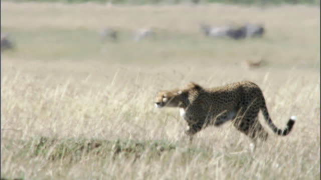 Cheetah (Acinonyx jubatus) stalks prey on savannah, Masai Mara, Kenya