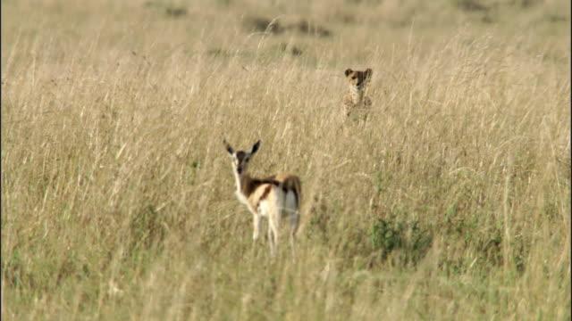 Cheetah (Acinonyx jubatus) stalks Thomson's gazelle (Eudorcus thomsonii) prey on savannah, Masai Mara, Kenya
