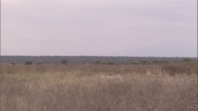 """a cheetah stalks through long grass on the savanna. available in hd. - """"bbc natural history"""" stock videos & royalty-free footage"""