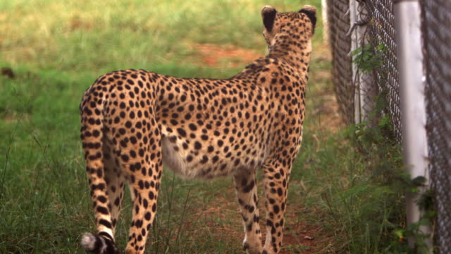 vídeos de stock e filmes b-roll de cheetah standing by chain-link fence - captive animals