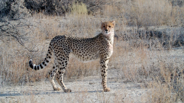 MS Cheetah (Acinonyx jubatus) standing in savannah / Kgalagadi Transfrontier Park, Kgalagadi District, South Africa