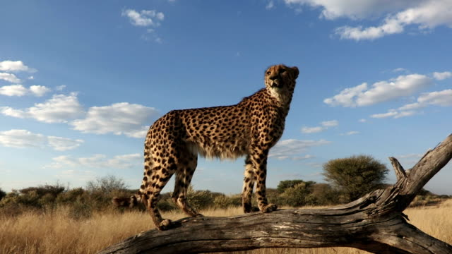 Cheetah standing on fallen tree to get elevated view and looking out over grassy plains