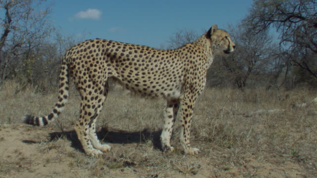 A cheetah stands alert and then sprints after a rabbit. Available in HD.