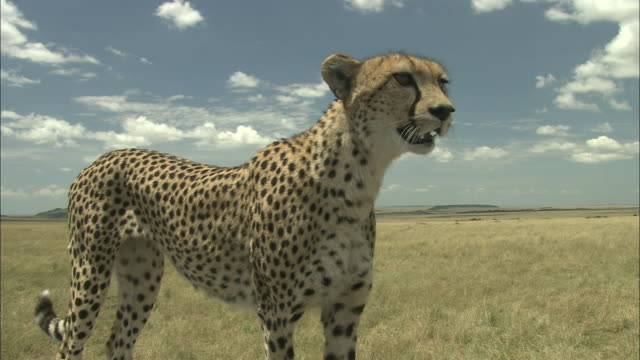 a cheetah stands in an open field. - sticking out tongue stock videos & royalty-free footage