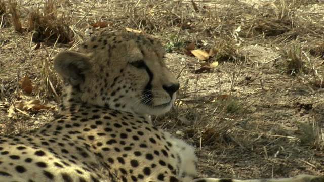 vídeos de stock, filmes e b-roll de a cheetah twitches its ears and relaxes. available in hd. - linha ondulada