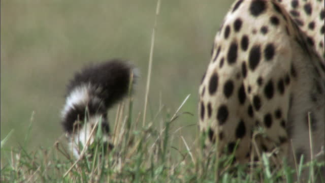 cheetah (acinonyx jubatus) twitches its tail, masai mara, kenya - tail stock videos & royalty-free footage