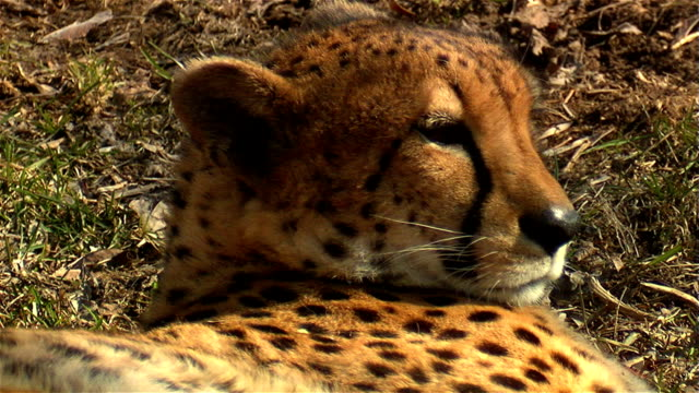 cheetah - wood stain stock videos & royalty-free footage