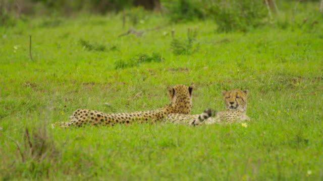 cheetah - medium shot stock videos & royalty-free footage
