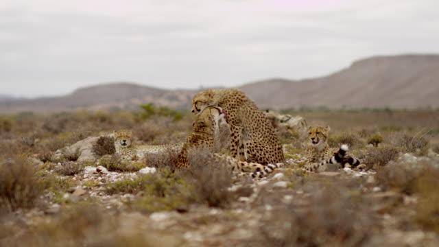 vídeos y material grabado en eventos de stock de cheetah - grupo pequeño de animales