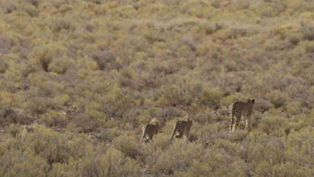 vídeos de stock, filmes e b-roll de cheetah - grupo pequeno de animais