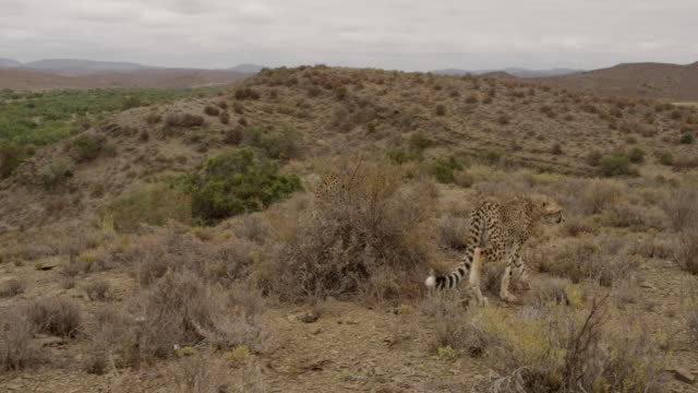 cheetah - group of animals stock videos & royalty-free footage