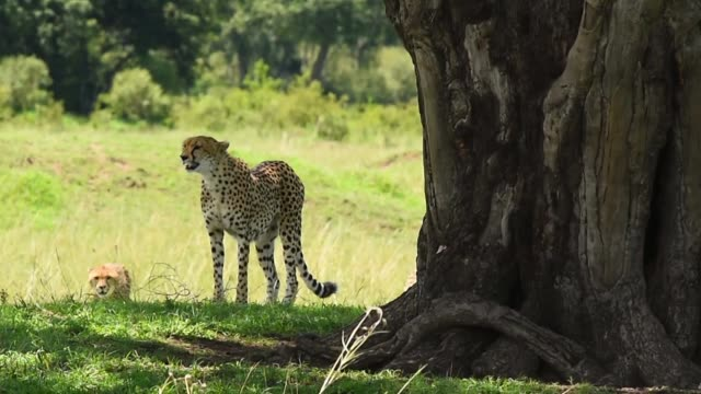 cheetah - audio available stock videos & royalty-free footage