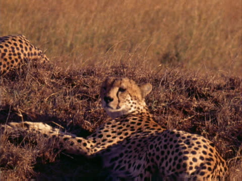 cheetah - 横向きに寝る点の映像素材/bロール