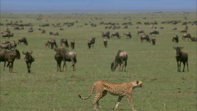 vidéos et rushes de ws, pan, cheetah (acinonyx jubatus) walking across savannah plains with wildebeests in background, serengeti national park, tanzania - chasser