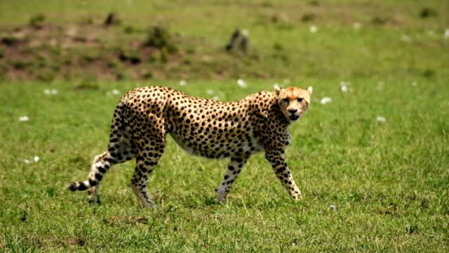 cheetah walking in masai mara grassland - hunting stock videos & royalty-free footage