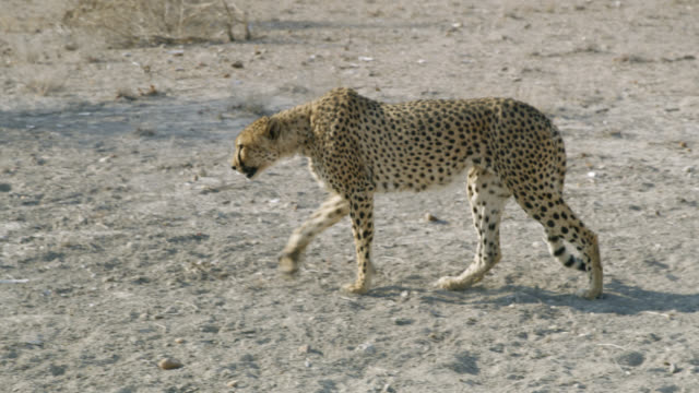 vídeos y material grabado en eventos de stock de ms cheetah caminando en desierto soleado,namibia, africa - animales en cautiverio