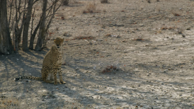 ms cheetah walking in sunny desert,namibia,africa - captive animals stock videos & royalty-free footage