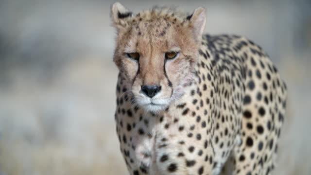 ms slo mo cheetah (acinonyx jubatus) walking / kgalagadi transfrontier park/ kgalagadi district/ botswana - cheetah stock videos & royalty-free footage