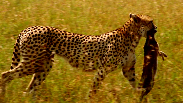 ms pan cheetah walking left to right through long grass with dead animal in its mouth / masai mara, kenya - animal mouth stock videos & royalty-free footage