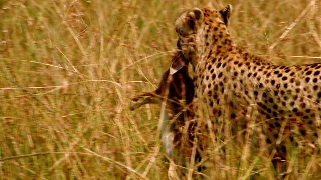 ms pan tu cheetah walking right to left through long grass with dead animal in its mouth / masai mara, kenya - animal mouth stock videos & royalty-free footage