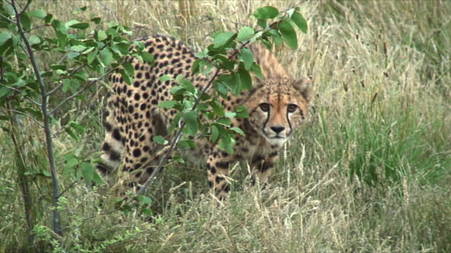 MS Cheetah walking slowly through shrubbery / Khorixas, Namibia