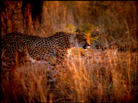 Cheetah walking through bush land, Botswana