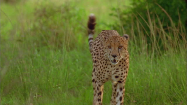 a cheetah walking through long grass available in hd. - cheetah stock videos and b-roll footage