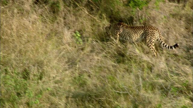 aerial ws zo cheetah walking through savannah, phinda nature reserve, kwazulu natal, south africa - bush stock videos & royalty-free footage