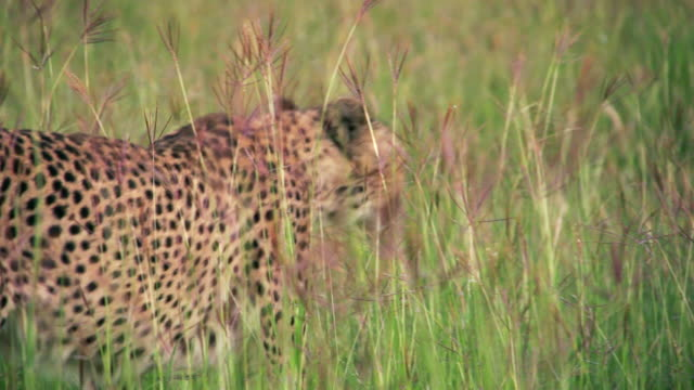 ms ts cheetah walking through tall grassy field / ongava, kunene, namibia - wiese stock videos & royalty-free footage